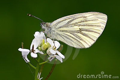 Butterfly (pieris napi)
