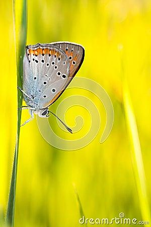 Butterfly Plebejus Idas