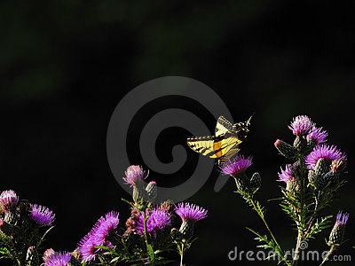 Butterfly Purple Flowers isolated Background