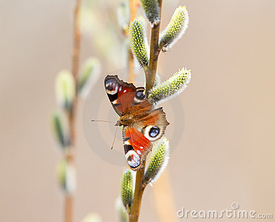 Butterfly on pussy-willow