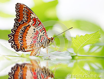 Butterfly Red Lacewing
