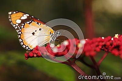 Butterfly 12