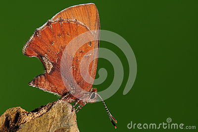 Butterfly on rock, Ahlbergia Nicévillei