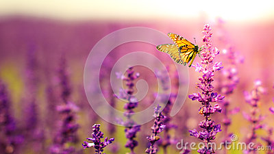 Butterfly with Salvia flowers