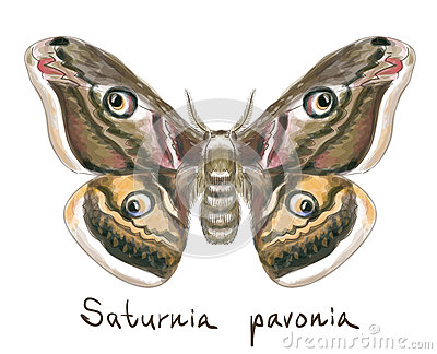 Butterfly Saturnia Pavonia. Watercolor imitation.