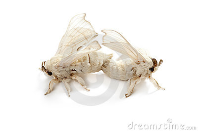 Butterfly of silkworm silk worm isolated on white