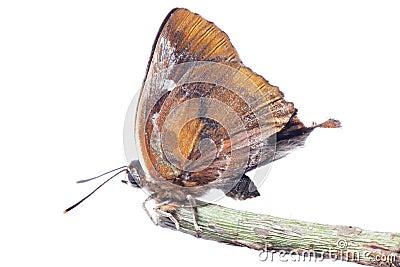 Butterfly silver streak blue