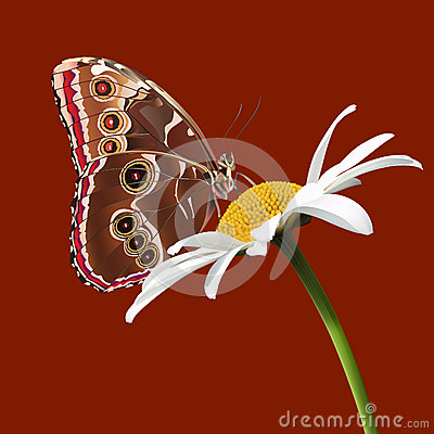 A butterfly sits on a daisy on the burgundy backgr