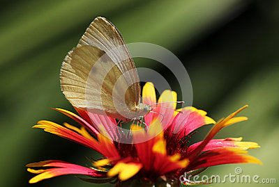 Butterfly sitting on echinacea