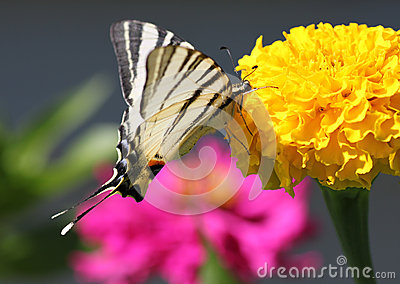 Butterfly sitting on marigold flower