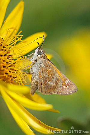 Free Butterfly, Skipper Stock Photography - 12723602