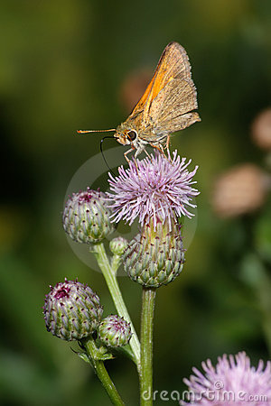 Butterfly, Skipper