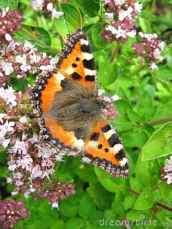 Butterfly Small Tortoiseshell (Aglais urticae)