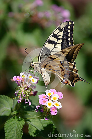 Butterfly Southern Swallowtail
