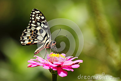 Butterfly is sucking nectar