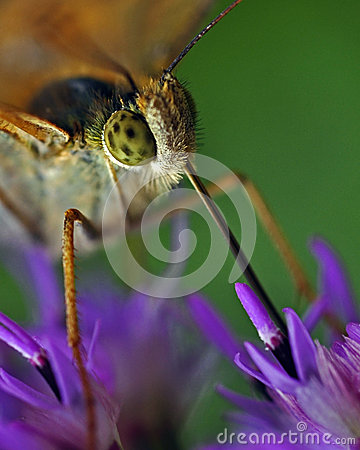 Free Butterfly The High Brown Fritillary, Argynnis Adippe In Macro Stock Photo - 48512020