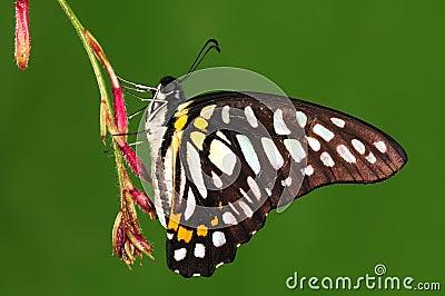 Butterfly on twig, black