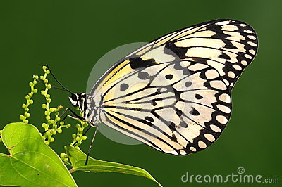 Butterfly on twig, white