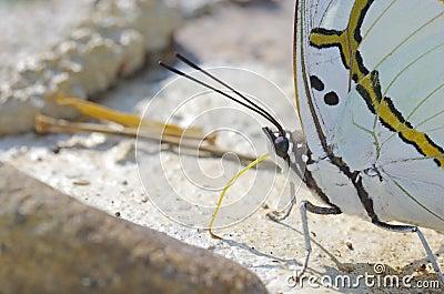 Butterfly use the proboscis