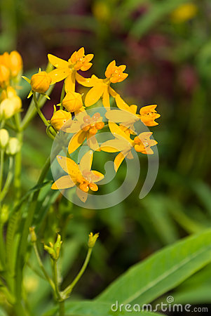 Butterfly Weed Stock Photo - Image: 24888330