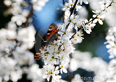 Butterfly in white blossoms