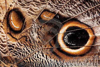 Butterfly wing texture