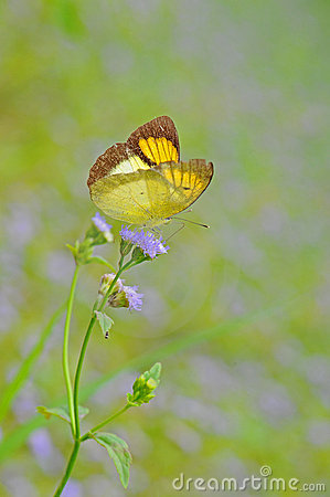 Butterfly(The Yellow Orange Tip)