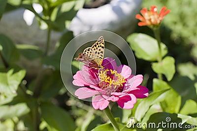 Butterfly (Argynnis paphia)