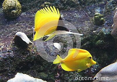 Butterflyfish Longnose