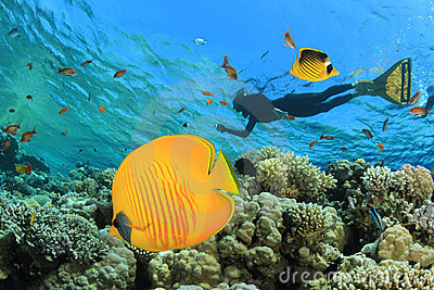 Butterflyfish and Snorkeler