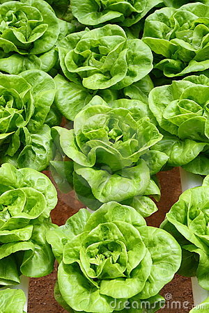 Butterhead Lettuce Stock Photo - Image: 10756810