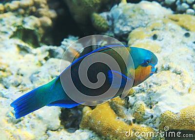 Buttlehead Papageienfisch