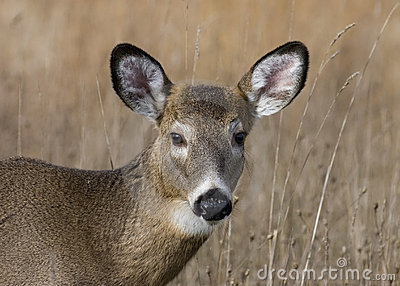 Button Buck Whitetail Deer (Odocoileus virginianus