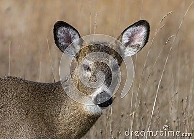 Button Buck Whitetail Deer (Odocoileus virginianus