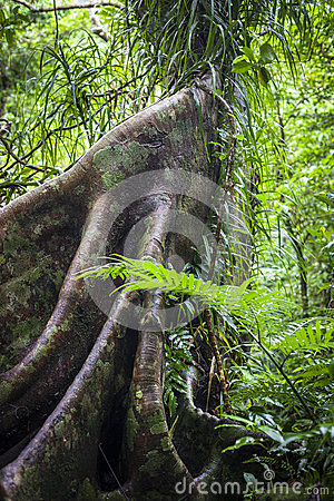Buttress Roots in Rainforest
