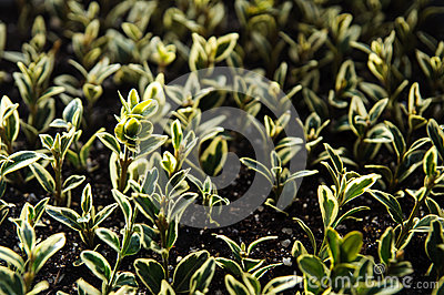 Buxus seedlings