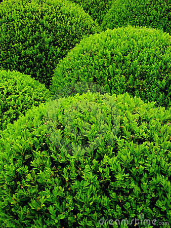 Free Buxus Sempervirens Royalty Free Stock Photo - 4183985