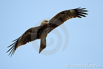 Buzzard on blue sky