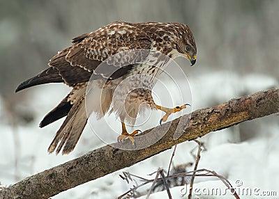 Buzzard on a fallen tree