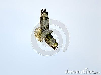 Buzzard flying