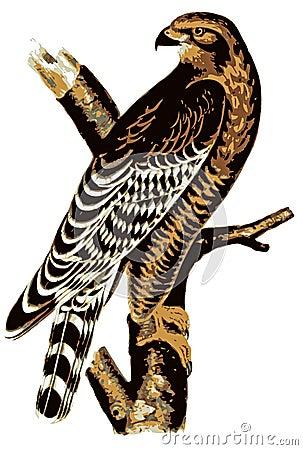 Buzzard Illustration.