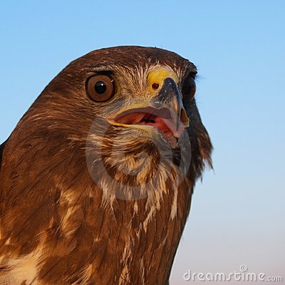 Free Buzzard Portrait Royalty Free Stock Photo - 8044315