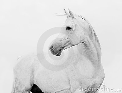 Bw arab horse in high key