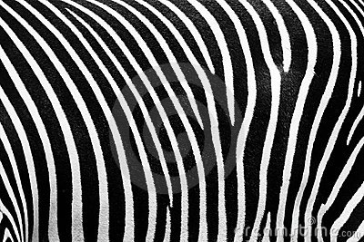 BW texture of zebra