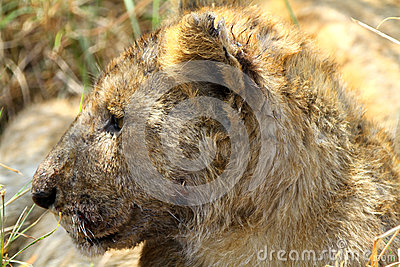 Byby Lion