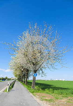 Bycicle lane under blooming tree