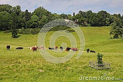 Bydło łąka angielska pastwiskowa