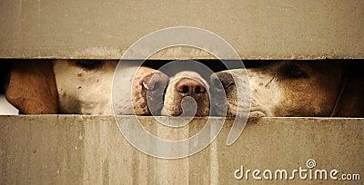 Cães que olham através da cerca