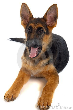 Cão alemão do shepard