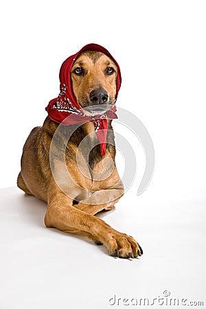 Cão como o lobo disfarçou como pouca capa de equitação vermelha
